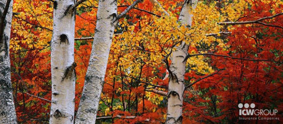 Birch trees in a forest of colorful leaves