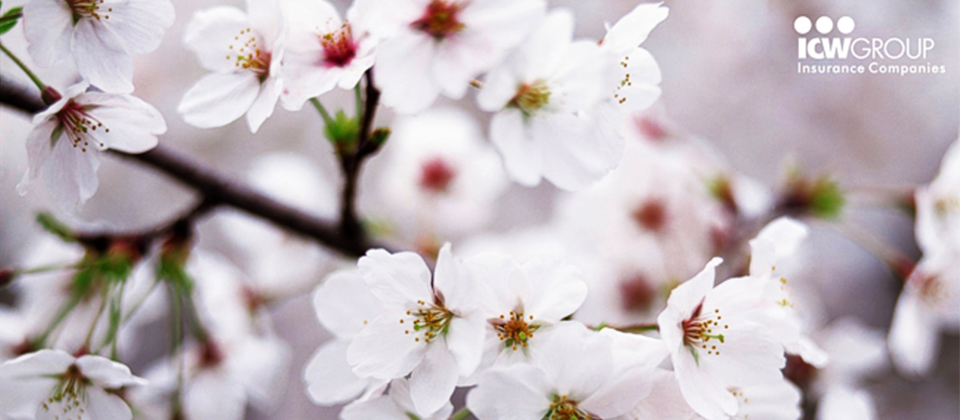 A close up of white cherry blossoms