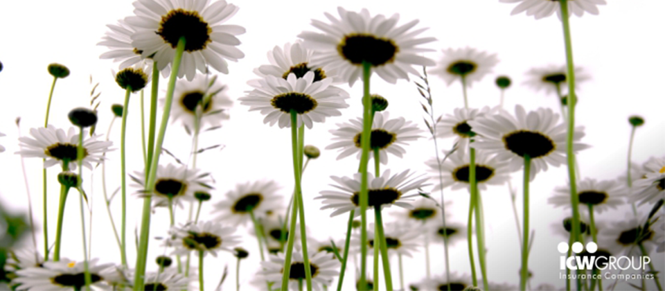 A close up of a cluster of daisies