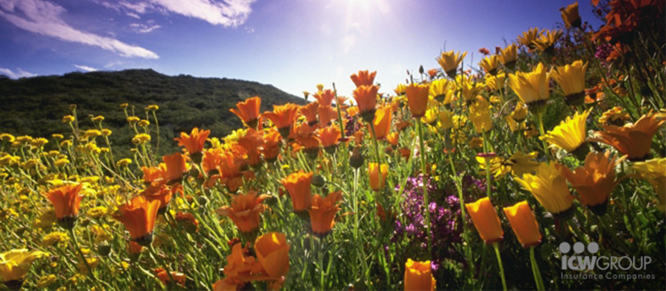 A field of colorful tulips in front of a mountain and a blue sky